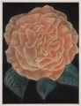 Rose, AP17